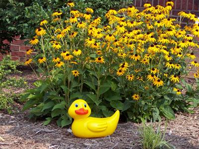duck-garden.jpg